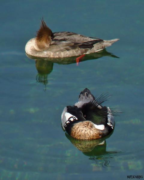 Red Breasted Merganser pair