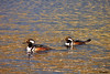 Hooded Merganser - adult males