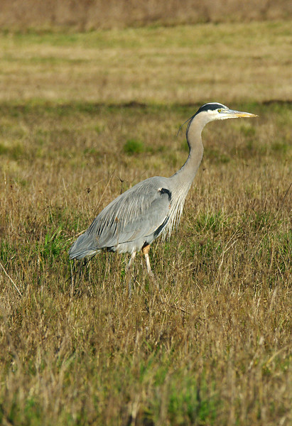 Blue Heron stalks - Basket Slough NWR