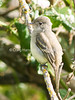 Pacific-slope Flycatcher (Empidonax difficilis)