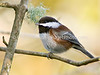 Chestnut-backed Chickadee (Poecile rufescens)