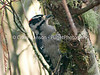 Downy Woodpecker (Picoldes pubescens)