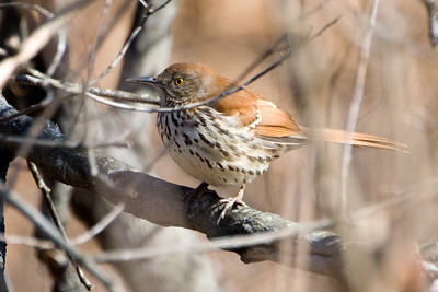 Brown Thrasher/Wood Thrush 3465