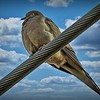 Mourning dove BY