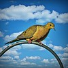 Mourning Dove   2021-01-05