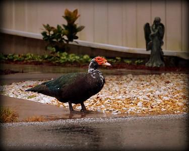 2015-11-09_DSC02783_Feral Muscovy duck,Largo,Fl