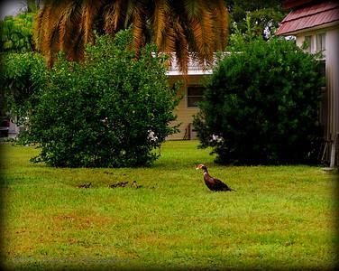 2015-11-09_DSC02787_Feral Muscovy duck,Largo,Fl