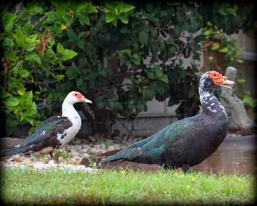2015-11-09_DSC02777_Feral Muscovy duck,Largo,Fl