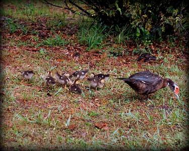 2015-11-09_DSC02792_Feral Muscovy duck,Largo,Fl