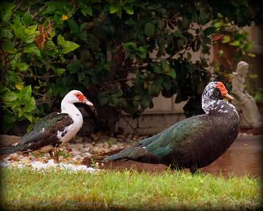 2015-11-09_DSC02779_Feral Muscovy duck,Largo,Fl
