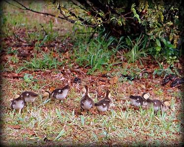 2015-11-09_DSC02793_Feral Muscovy duck,Largo,Fl