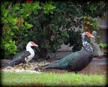 2015-11-09_DSC02778_Feral Muscovy duck,Largo,Fl