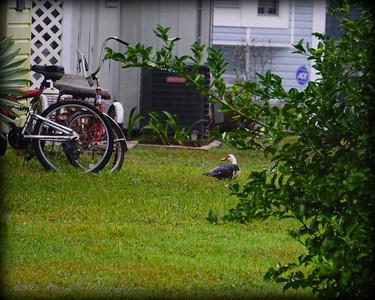 2015-11-09_DSC02764_Feral Muscovy duck,Largo,Fl