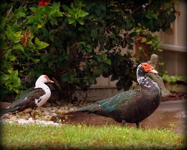 2015-11-09_DSC02780_Feral Muscovy duck,Largo,Fl