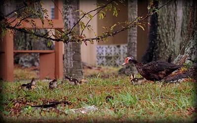 2015-11-09_DSC02799_Feral Muscovy duck,Largo,Fl