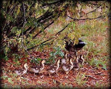 2015-11-09_DSC02795_Feral Muscovy duck,Largo,Fl