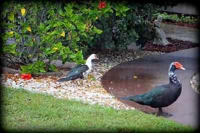 2015-11-09_DSC02773_Feral Muscovy duck,Largo,Fl