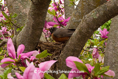 Robin Nest in Magnolia Tree, Longenecker Gardens, Madison, Wisconsin