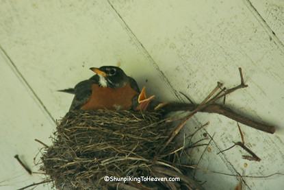 Robin Sitting on Nest, Bowen's Mill, Barry County, Michigan