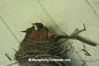 Robin Sitting on Nest, Bowen's Mill, Barry County, Michigan