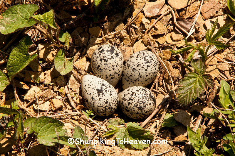 Kildeer Nest, Lawrence County, Ohio