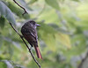 Great-crested Flycatcher<br /> Lake Shenandoah 8-2-10