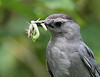 Gray Catbird, prepared for a visit to nestlings<br /> South River Falls trail-head, 7/31/10