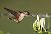 Ruby-throated Hummingbird<br /> HInton, VA