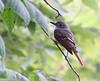 Great-crested Flycatcher<br /> Lake Shenandoah 8-2-10