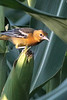 Baltimore Oriole, female<br /> Hinton, VA