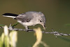 Blue-gray Gnatcatcher with spider<br /> Hinton, VA