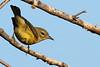 Mystery Warbler<br /> Hinton, VA