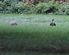Cooper's Hawk/ Gray Squirrel encounter<br /> Belle Haven Park; Alexandria, VA<br /> August 15 (taken during the Dyke Marsh Bird Walk)