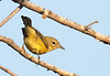 Mystery Warbler<br /> Photo lightened to show under-tail pattern