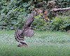 Cooper's Hawk/ Gray Squirrel encounter<br /> Belle Haven Park; Alexandria, VA<br /> August 15 (taken during the Dyke Marsh Bird Walk)
