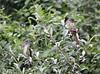 Great-crested Flycatchers<br /> Lake Shenandoah 8-2-10