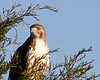 Red-tailed Hawk<br /> Hall School Rd, Stuarts Draft 10-21-12
