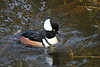 Hooded Merganser - Adult Male