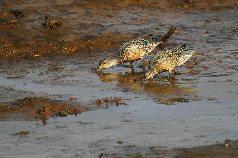 Green-winged Teal - Adult Female