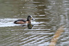 Ring-necked Duck - Adult Female