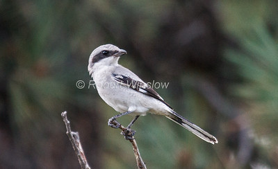 Loggerhead Shrike, Lanius ludovicianus, La Plata County, Colorado, USA, North America