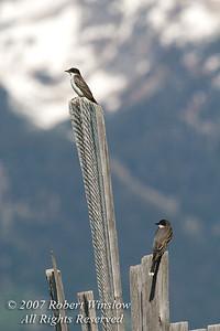 Two Eastern Kingbirds, Tyrannus tyrannus, on Old Fence Row, Grand Teton National Park, Wyoming, USA, North America