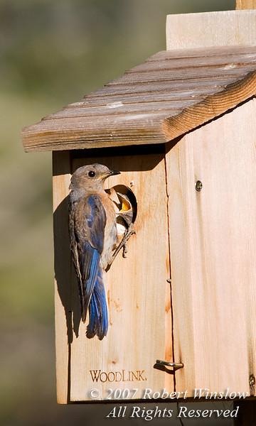 Female Western Bluebird (Sialia mexicana), Feeding Young in Nest Box, Southwestern Colorado, United States, North America
