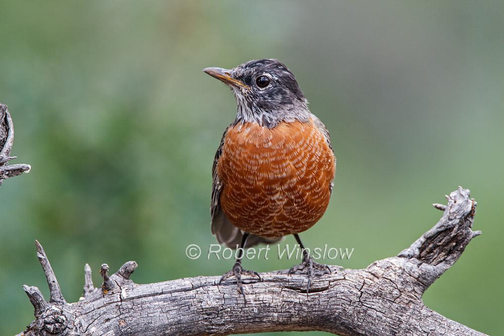 American Robin, Turdus migratorius, La Plata County, Colorado, USA, North America