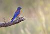 Male Western Bluebird, Sialia mexicana, La Plata County, Colorado, USA, North America