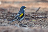 Yellow-rumped Warbler (Audubon's), Setophaga coronata, La Plata County, Colorado, USA, North America
