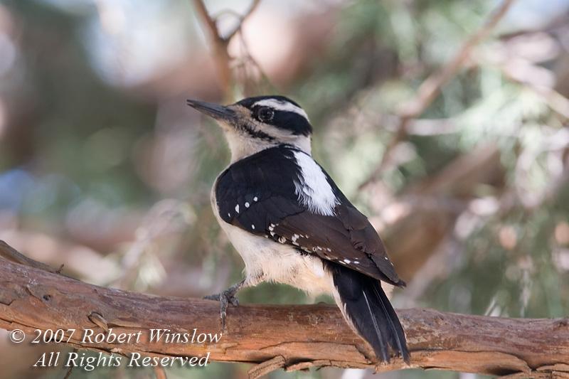 Female Hairy Woodpecker, Picoides villosus, La Plata County, Colorado, USA