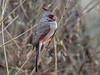 Pyrrhuloxia, Cardinalis sinuatus, Bosque del Apache National Wildlife Refuge, New Mexico, USA, North America