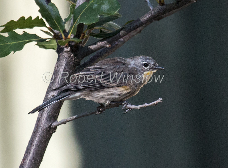 Audubon's Yellow-rumped Warbler, Setophaga coronata, La Plata County, Colorado, USA, North America