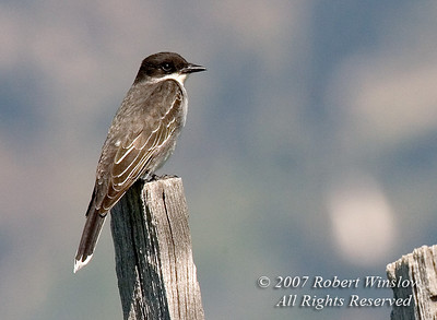 Eastern Kingbird, Tyrannus tyrannus, on Old Fence Row, Grand Teton National Park, Wyoming, USA, North America